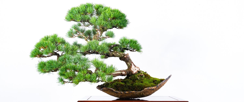 Bonsai Voor Binnen.Home Lodder Bonsai