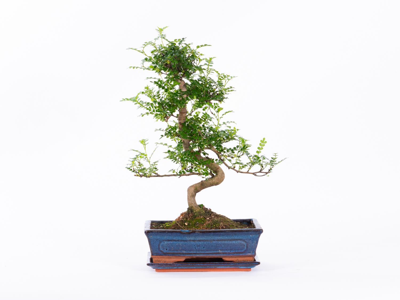 Bonsai Voor Binnen.Bonsai Lodder Bonsai
